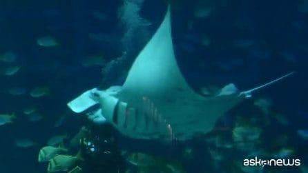 La manta si fa nutrire dal sub, tenero spettacolo a Singapore