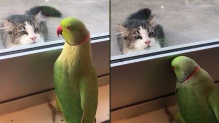 Arriva il gatto, il pappagallo si nasconde: quello che accade è divertintissimo