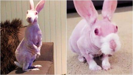 Coniglio nasce senza pelo per una rara malattia genetica: volevano sopprimerlo, ora è una star