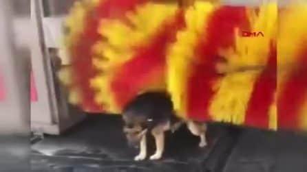 Il cane si avvicina all'autolavaggio e aspetta lo spazzolone