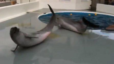 Delfini escono dalla vasca e piangono: le immagini commoventi che fanno riflettere