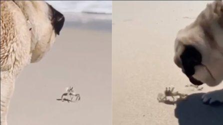 Cerca di giocare col granchio: la scena tenera in spiaggia