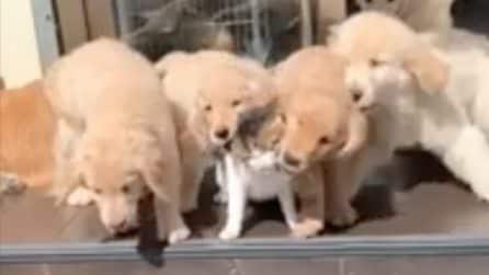 Saltano addosso al gatto: i cuccioli assalgono il felino