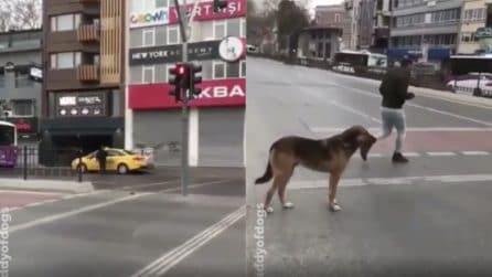 Il semaforo è rosso ma i pedoni attraversano: il cane si comporta in modo sorprendente