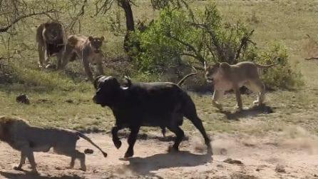 Viene circondato dai leoni e sembra spacciato: ma il bufalo riesce a salvarsi con grande coraggio