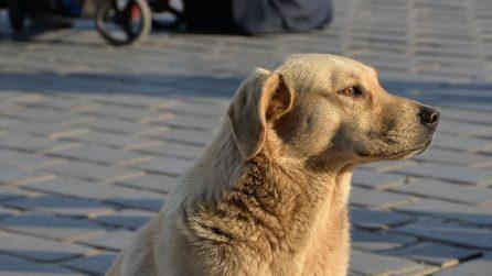 Il cane aspetta che il semaforo sia verde: poi attraversa la strada sulle strisce pedonali