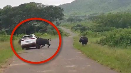 Di qui non si passa: il bufalo solleva l'auto in aria e terrorizza l'automobilista