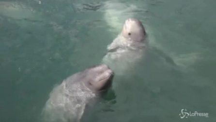 """Russia, chiude la """"prigione delle balene"""": cetacei liberati in mare"""