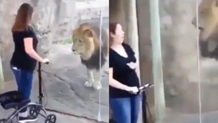 Il leone resta immobile davanti alla ragazza, poi cambia idea