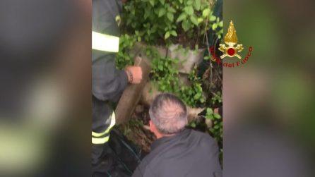 Sentono dei lamenti dal canale di scolo: il salvataggio dei vigili del fuoco