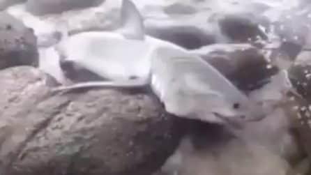 Lo squalo è intrappolato tra gli scogli e non riesce a liberarsi