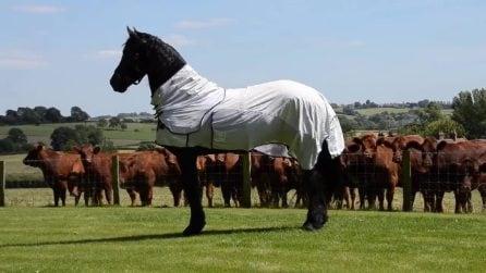 L'incontro tra un elegante e maestoso cavallo frisone e una mandria di buoi