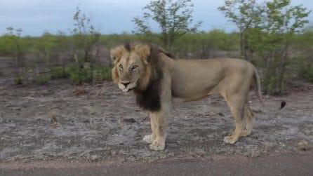 il leone è infastidito dai turisti: si ferma e reagisce alla loro invadenza