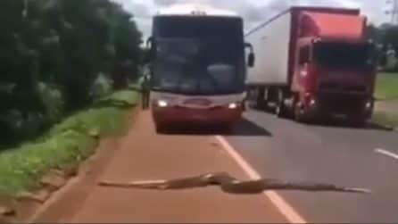 Se li ritrovano davanti in autostrada: il pitone è enorme