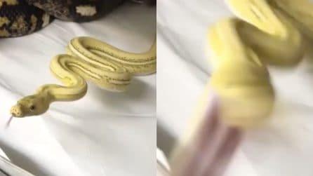 Si avvicina troppo per riprenderlo: il serpente prova ad attaccarlo