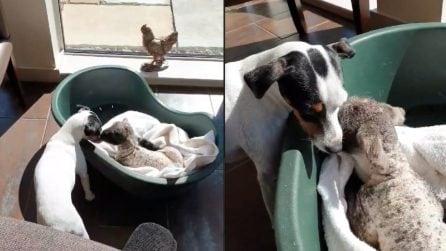 Il padrone si prende cura di un piccolo agnello trovato in strada: la reazione del suo cane