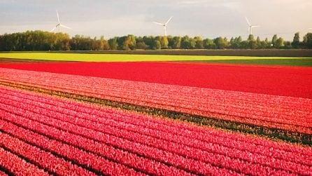 Visitare l'Olanda a marzo e aprile per assistere allo spettacolo dei tulipani in fiore