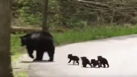 Mamma orso vede i suoi cuccioli in difficoltà ma non si perde d'animo: bellissimo quello che fa