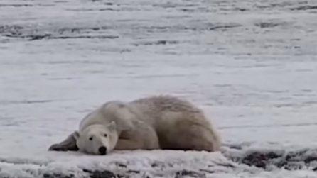 Trovano un orso polare affamato, che ha nuotato per chilometri in cerca di cibo