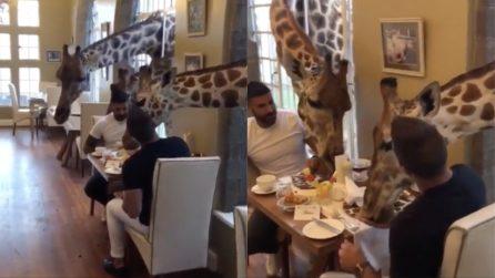 Scendono per la colazione e arrivano le giraffe a fargli compagnia