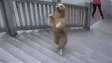 Ha visto il suo padrone farlo milioni di volte, ecco come il cane decide di fare le scale