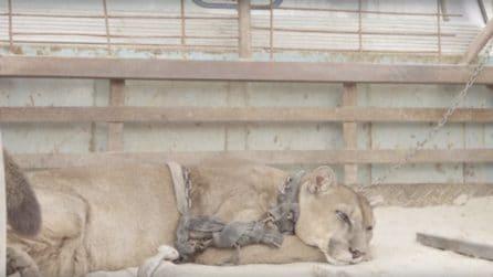 Puma incatenato nel retro di un furgone per 20 anni costretto ad esibirsi al circo: viene liberato
