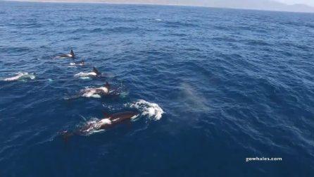 Le orche nuotano velocemente verso l'enorme balena: la natura vista da vicino
