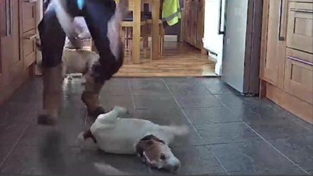 Il cane sta soffocando, il padrone gli salva la vita con la manovra di Heimlich