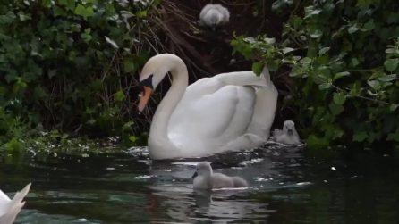 I piccoli entrano in acqua per la prima volta: mamma cigno li accompagna durante quest'esperienza