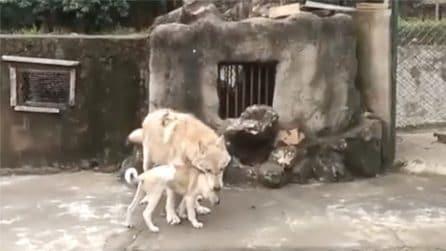 Si sono incontrati ed è stato amore a prima vista: il rapporto speciale tra un lupo e un cane