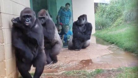 Viene giù il diluvio: la tenera reazione dei gorilla alla forte pioggia