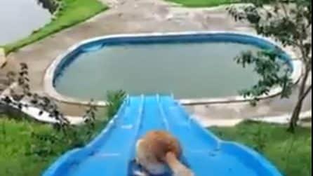 Il cane sale sullo scivolo: ecco cosa fa quando scnede