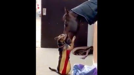 Il cagnolino si avvicina al cavallo: quello che riprendono col cellulare è meraviglioso