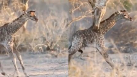 La baby giraffa non riesce a camminare: i primi passi con l'aiuto della mamma
