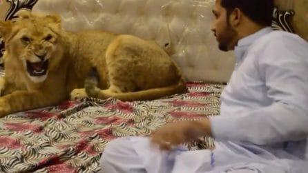 Un leone in casa come animale domestico: le immagini mettono i brividi