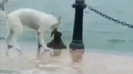 Il suo amico sta affogando: il gesto eroico del cane