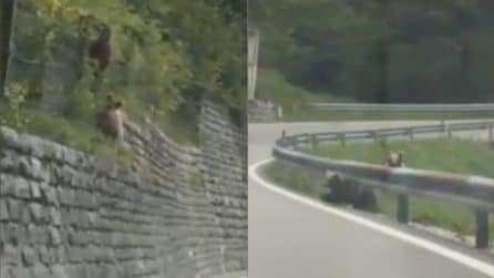 Trentino, cuccioli rischiano di essere investiti: le immagini in strada