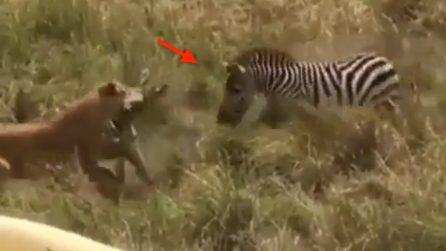 La leonessa sta per uccidere la povera zebra: ma ecco che un'eroina arriva in suo soccorso