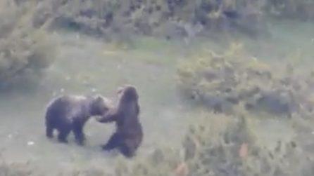 Due orsi giocano: lo spettacolo nel Parco Nazionale d'Abruzzo, Lazio e Molise