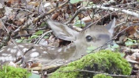 Il cucciolo di cerbiatto è appena nato ed è senza mamma: che dolcezza