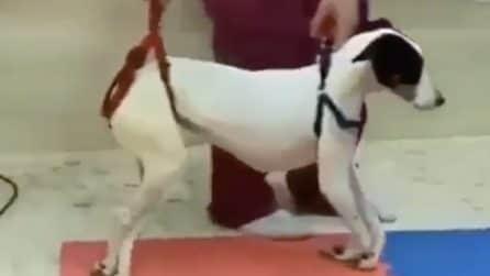 La lunga ed estenuante riabilitazione dopo l'intervento: questo cane è un guerriero