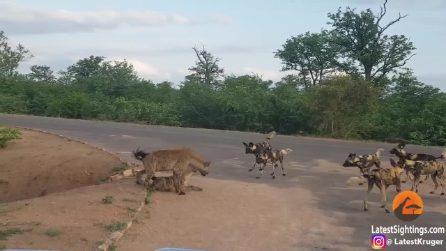 La iena protegge il suo cucciolo dai licaoni: poi succede qualcosa di inaspettato