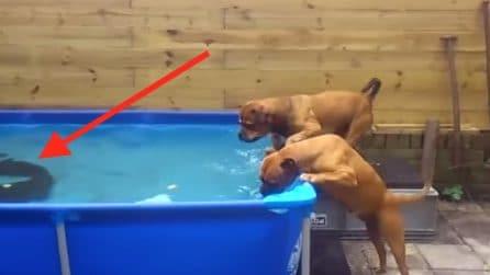 Il giocattolo preferito finisce nella piscina: questi cani escogitano un piano geniale per recuperarlo