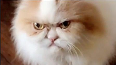 Luis ha sempre il muso imbronciato: questo gatto vi farà morire dal ridere