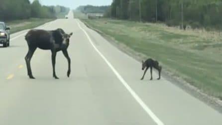 Il piccolo alce deve attraversare la strada, ma non è semplice: in suo aiuto arriva la mamma