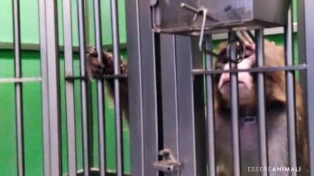 La vita dei macachi in un laboratorio italiano