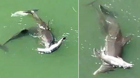 Mamma delfino spinge disperatamente il suo cucciolo morto: le immagini strazianti