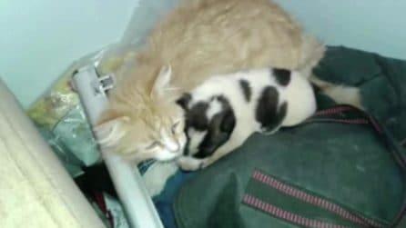 Il cagnolino è rimasto orfano: la gatta se ne prende cura e lo adotta