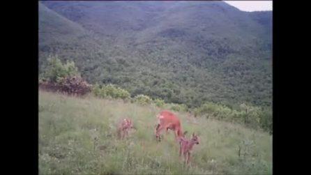 Incredibile parto gemellare per inaugurare la bella stagione! nel Parco dei Monti Simbruini
