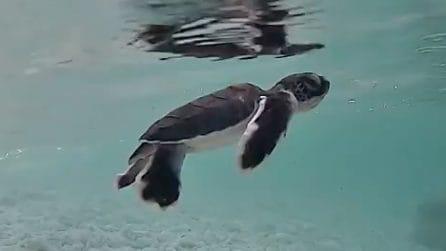 La piccola tartaruga impara a nuotare nella Grande barriera corallina: è dolcissima